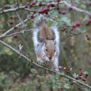 squirrelwithberries02_450.jpg
