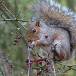 squirrelwithberries03_450.jpg