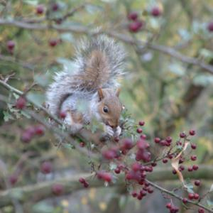 squirrelwithberries04_450.jpg